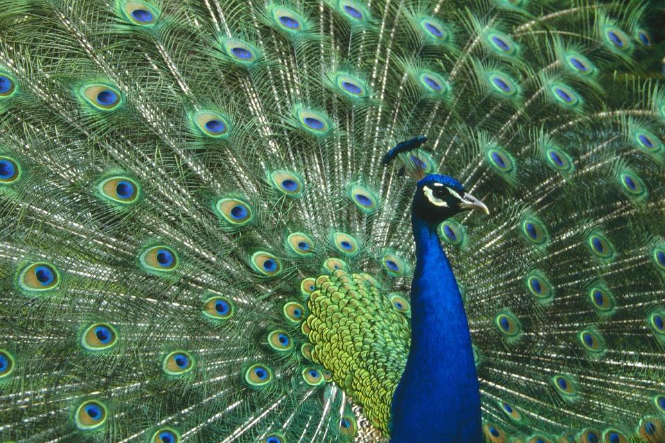 peacock-1129395_960_720